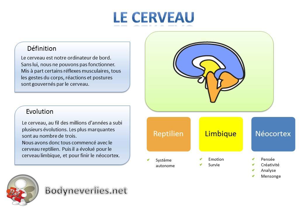 2 - Le cerveau
